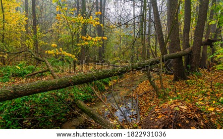 Autumn forest. Fallen leaves. Broken trees. A small stream in a ravine.