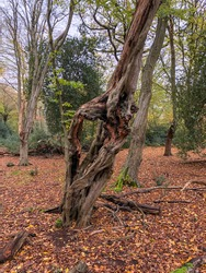 Autumn forest in Epping Forest, Chingford London