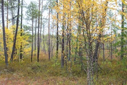 autumn forest in the northern part of Russia