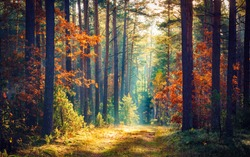 Autumn forest nature. Vivid morning in colorful forest with sun rays through branches of trees. Scenery of nature with sunlight