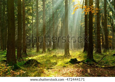 Autumn, Forest of Spruce Trees Illuminated by Sunbeams through Fog, Leafs Changing Colour #472444171