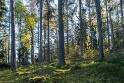 Autumn forest on sunny bright day. Beautiful view of deciduous and coniferous evergreen trees aspen pine birch spruce with the rays of the sun. Moss and lichen cover the ground. Wild nature landscape.