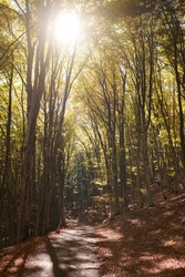 Autumn forest scenery with road of fall leaves, warm light illumining the gold foliage. Footpath in scene autumn forest nature. Vivid october day in colorful forest.