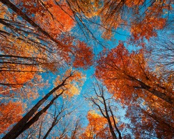 Autumn forest. Trees pattern. Looking up the blue sky. Nature background