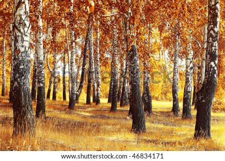 Autumn forest with yellow birches and dry herb