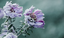 Autumn. Frosty morning. It blows an icy wind. Petals of beautiful flowers covered with frost.