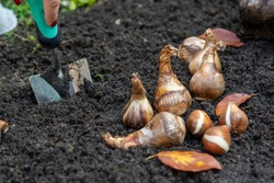 Autumn garden works, shovel and spring flowers bulbs ready for planting, tulips and yellow daffodils