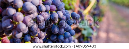 Autumn grapevine in Vineyards, German Wine Road, Rhineland Palatinate Germany. New vintage wine background concept, banner. Blue Wine grapes on vine. Dark skinned grapevine for red wine