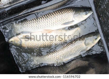 Autumn harvest of a White Amur (Grass Carp) from fishpond to christmas markets in Czech republic. In Central Europe ( Poland and Czech Republic ), fish is a traditional part of Christmas Eve dinner.