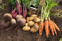 Autumn harvest of organic vegetables on soil in garden. Freshly harvested carrot, beetroot and potato