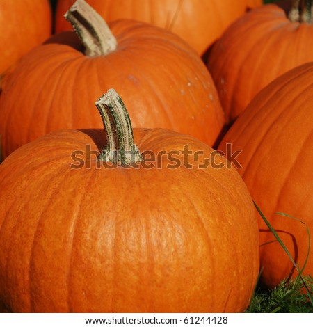 Autumn harvest. Perfect pumpkins