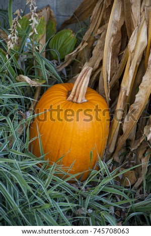 Autumn harvests always include pumpkins - this one makes a nice decoration along with corn husks and grasses. #745708063