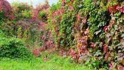 Autumn hedge overgrown with Virginia creeper, with green and red leaves against the blue sky. close up