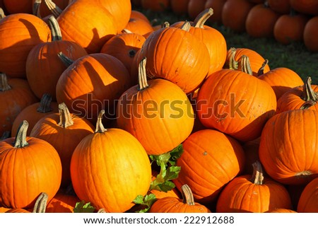 Autumn holiday - Halloween. Gorgeous mature orange pumpkin picturesque piles spread out on the grass. Sunset warm light illuminates all