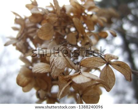 Autumn hydrangea bloom at end of flowering season. Change of seasons, fall.