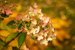 Autumn hydrangea flower. fading hydrangea flower on a background of fallen orange leaves out of focus and bokeh