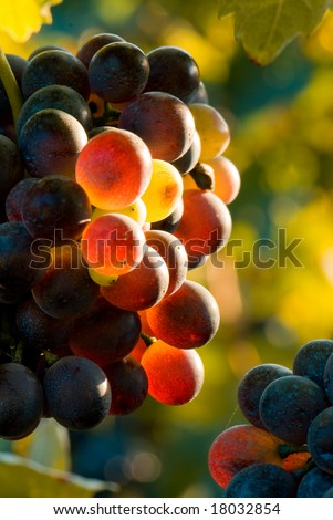Autumn image: red grapes in sunset light. Piemonte, Italy. Shallow dof