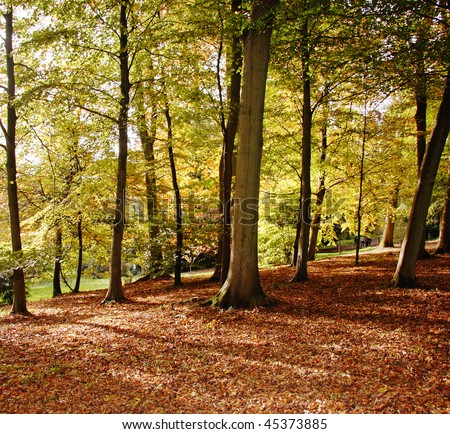 Autumn in an English Arboretum with Beech Trees and a carpet of fallen leaves