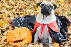 Autumn in the park, pug halloween