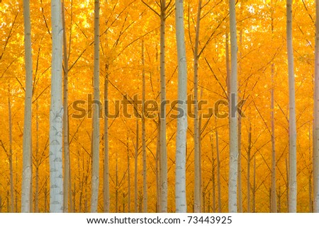 Autumn in the Trees Leaves Turned Bright Yellow Vibrant Seasonal Color