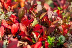 autumn in the tundra, red leaves on the moss background
