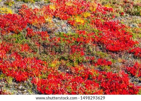 Autumn in the tundra. Red spruce branches in autumn colors on the moss background. Tundra, Kola peninsula, Russia.Beautiful landscape of forest-tundra,