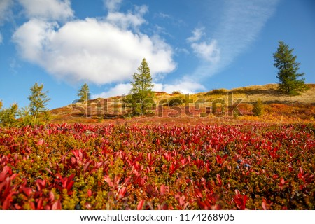 Autumn in the tundra. Yellow spruce branches in autumn colors on the moss background. Tundra, Kola peninsula, Russia.Beautiful landscape of forest-tundra,