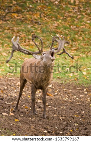 Autumn is the season when woodlands echo to the sounds of bugling stags as they challenge each other for dominance to attend the hinds and sire the next generation. #1535799167