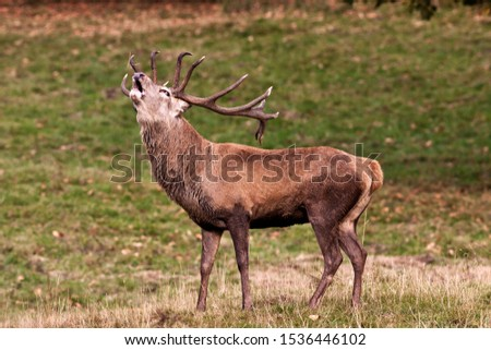 Autumn is the season when woodlands echo to the sounds of bugling stags as they challenge each other for dominance to attned the hinds and sire the next generation. #1536446102