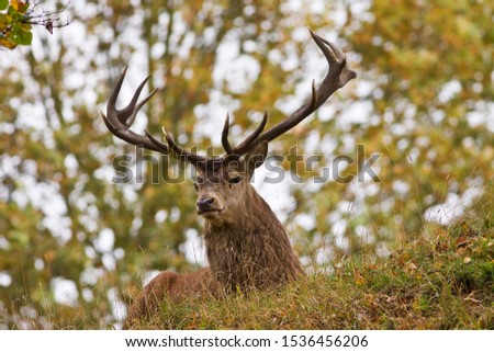 Autumn is the season when woodlands echo to the sounds of bugling stags as they challenge each other for dominance to attned the hinds and sire the next generation. #1536456206