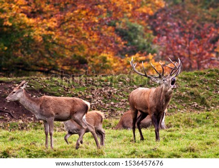 Autumn is the season when woodlands echo to the sounds of bugling stags as they challenge each other for dominance to attned the hinds and sire the next generation. #1536457676