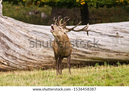 Autumn is the season when woodlands echo to the sounds of bugling stags as they challenge each other for dominance to attned the hinds and sire the next generation. #1536458387