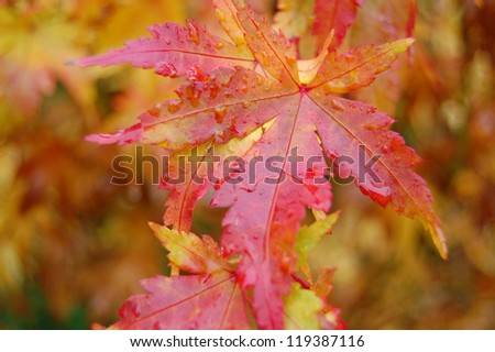 Autumn Japanese Maple Leaf