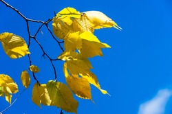 Autumn landscape, Autumn leaves with the blue sky background, Yellow, red and green bright leaves and branches, fall themes