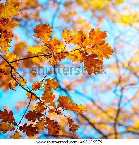 Autumn landscape. Autumn oak leafes, very shallow focus. #463166579
