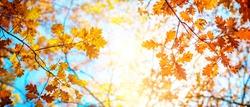 Autumn landscape. Autumn oak leafes, very shallow focus. Wide panorama format.