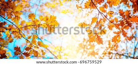 Autumn landscape. Autumn oak leafes, very shallow focus. Wide panorama format. #696759529