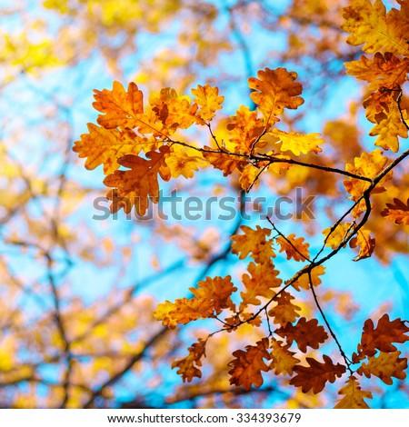 Autumn landscape. Autumn oak leaves, very shallow focus.  #334393679