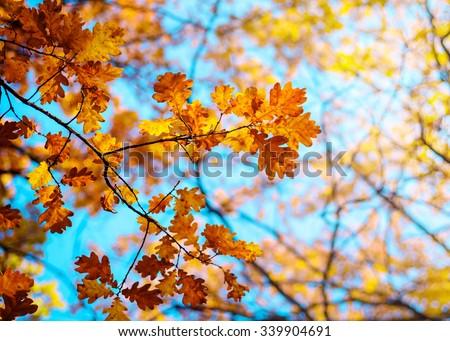 Autumn landscape. Autumn oak leaves, very shallow focus. #339904691