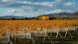 Autumn landscape of golden vineyard with netting, Otago region, South Island