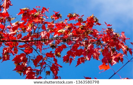 Autumn landscape of photography, Maple tree or shrub with lobed leaves, winged fruits, and colorful autumn foliage, grown as an ornamental or for its timber or syrupy sap. #1363580798