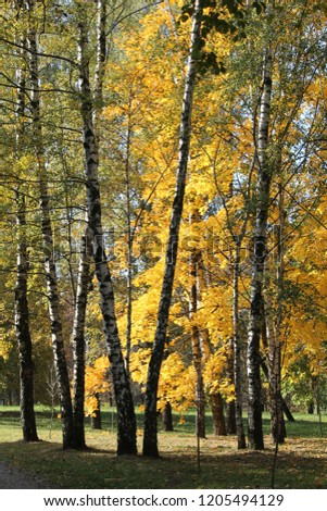 Autumn landscape. Park with trunks of birch and yellow foliage of other deciduous trees #1205494129