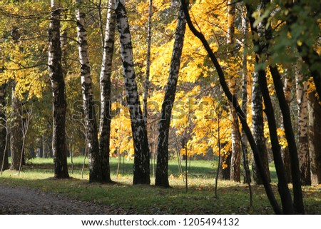 Autumn landscape. Park with trunks of birch and yellow foliage of other deciduous trees #1205494132