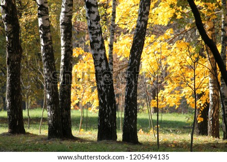 Autumn landscape. Park with trunks of birch and yellow foliage of other deciduous trees #1205494135