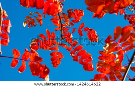 Autumn landscape photography, mountain ash in full beauty, illuminated by the colors of autumn. A tree with fruits in the form of a bunch of orange-red berries, as well as the most berries #1424614622