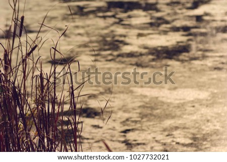 autumn landscape, swamp, covered with mud and algae, high and thick grass, reeds and shrubs are surrounded by water, the formation of the peat bog