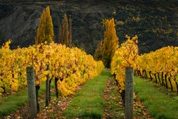 Autumn landscape view of yellow vineyard rows with the trees, Otago region, South Island of New Zealand