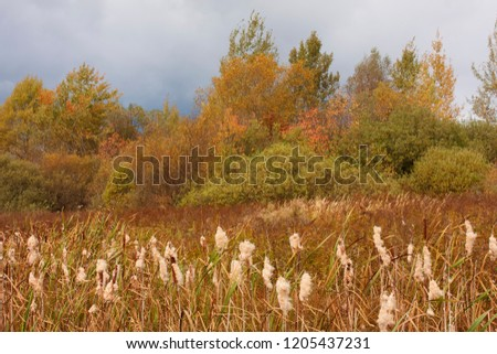 Autumn landscape with  cattails (Typha latifolia)  in the foreground. Paints of autumn in nature with cattails (Typha latifolia) in the foreground #1205437231