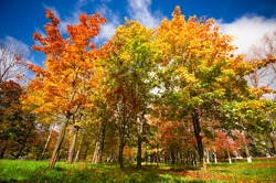 Autumn landscape with colourful maple tree