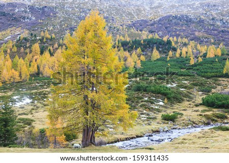 Autumn Larch tree at the river